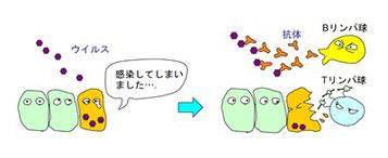 獲得免疫システムで働く細胞:Tリンパ球とBリンパ球