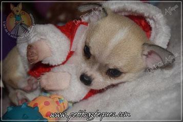 Chiot chien pour Noël, que vos voeux se réalise !