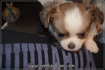 Adopter Un Petit Chiot Un Bonheur Decuple Elevage De Chihuahua Lof