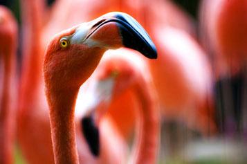 Flamingo, Horseshoe Reef, Karibik, Karibische Inseln