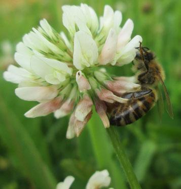Weißklee (trifolium repens)  ist bei Bienen besonders beliebt und bereichert jeden Rasen! Als Eiweißträger wird er als wertvolle Futterpflanze in der Landwirtschaft geschätzt.