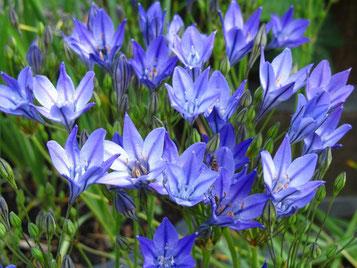 Brodiaea Fam. Liliaceae (bulbo)