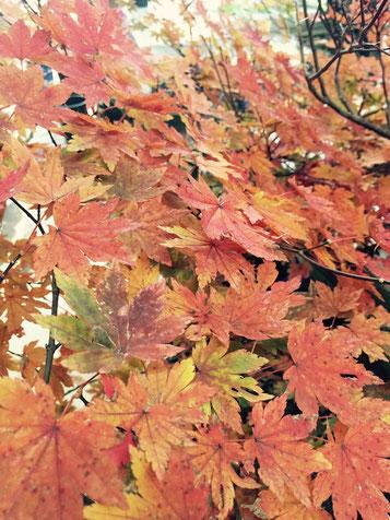 花ひろフローラルマーケットのお店の紅葉です! 自然の彩は、ほんとに素敵ですね。紅葉シーズン皆様はどこかお出かけされましたか? 仕事の一環ですが…今朝早くに今庄の山の頂上まで行ってきました。 道なき道を四駆でどんどん登りきると、 そこにはすっばらしい景色が広がっていました。 朝もやの中輝く木々はとても贅沢な景色です。 ただ、かなりのぬかるみの中、細い通りを上がっていくとこだったので、とても危険な山道でした(*_*;