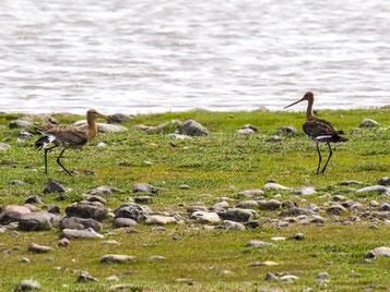 Die Uferschnepfe hat mit einem Bestandsrückgang um 67 Prozent zu kämpfen. - Foto: Kathy Büscher