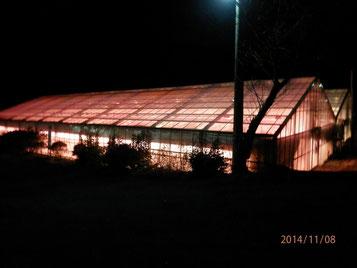 電照菊ハウスの夜間の様子。