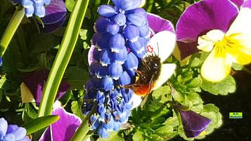 Video von Weibchen der Gehörnten Mauerbiene beim Nektarsammeln auf blauen Traubenhyazinthen von K.D. Michaelis