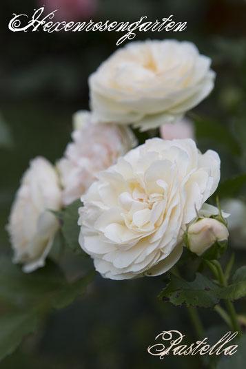 Rosen Rosenblog Hexenrosengarten Floribundarose Pastella Tantau ADR-Rose Rosiger Adventskalender