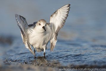 Siegerpose - Sanderling