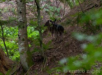 Femmine di daino (tipo melanico) in mezzo al bosco della Foresta della Lama.