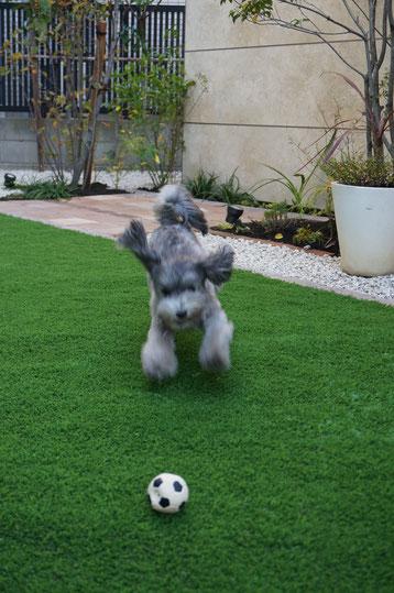 ボールに飛び掛るマルちゃん!