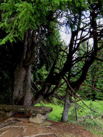 Gespensterbaum bei der Senn-Hütte
