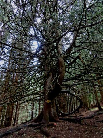 Riesenbaum auf dem Wunderwanderweg