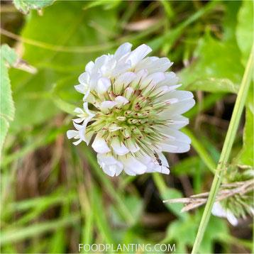 witte klaver, Trifolium repens