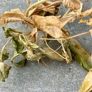 Pisum sativum, erwtenplant, plantenresten