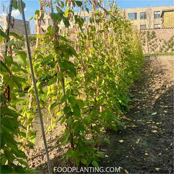 Phaseolus vulgaris, borlotti bonen, plantenresten