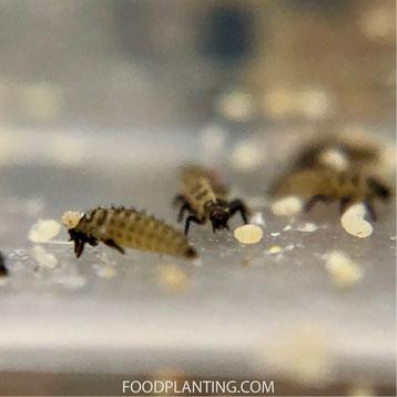 lieveheersbeestje larven