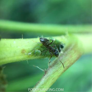 mieren, bladluis