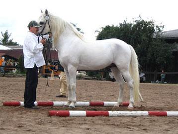 Best of Show 2006 Berber Hengst Vharib