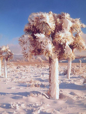 Bild Yucca brevifolia ©