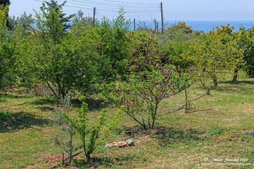 Treffpunkt Feigenbaum in unserem Garten - Agios Georgios - Pegeia - Zypern