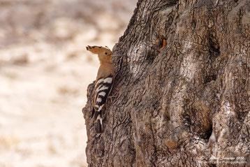 Wiedehopf am Baum mit Bruthöhle, 25. Mai 2020 - Androlikou