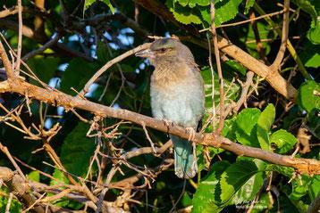 Jungvogel Blauracke im Maulbeerbaum, 28. Juni 2020 - Androlikou