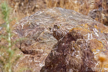 Little Owl male sitzt über Bruthöhle, 29. Mai 2020 - Androlikou