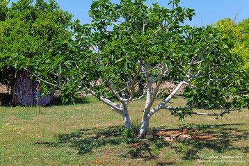 Treffpunkt Feigenbaum in unserem Garten, 14. April 2020 - Agios Georgios Pegeia - Zypern