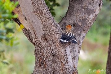 Wiedehopf am Baum mit Bruthöhle, 14. April 2020 - Agios Georgios Pegeia - Zypern