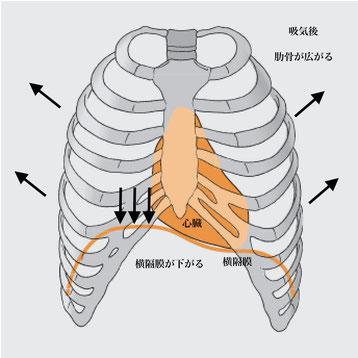 横隔膜の働き