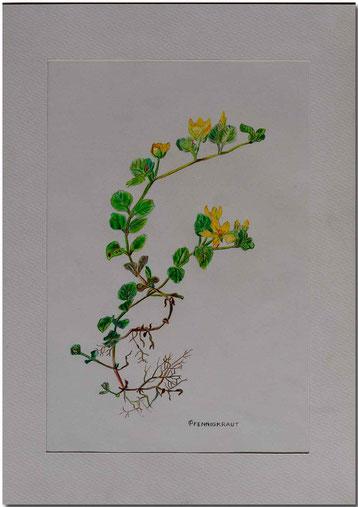 Bild:Pfennigkraut,Farbstift,Schule,Zeichnung,Blume,David Brandenberger,d-t-b.ch,d-t-b,