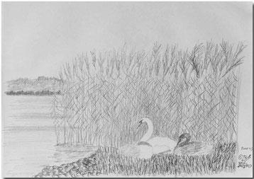 Bild:Swans,Schwan,Schwäne,Bleistift,Skizze,Neuenburgersee,Schilf,David Brandenberger,d-t-b.ch,d-t-b,