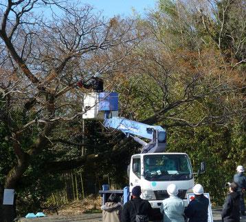 府職員や住民などが見守る中 - センダンの越境枝のせん定作業(今年3月)