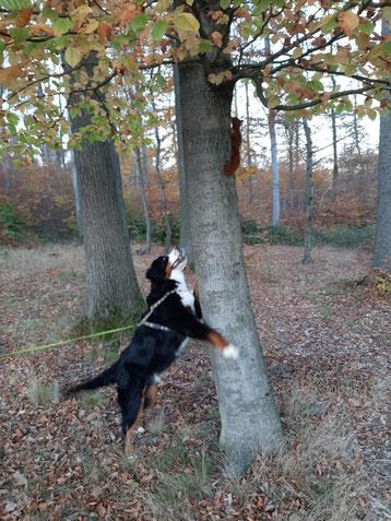 Pelle sucht das Eichhörnchen