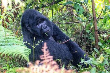 Uganda Reise Gorilla