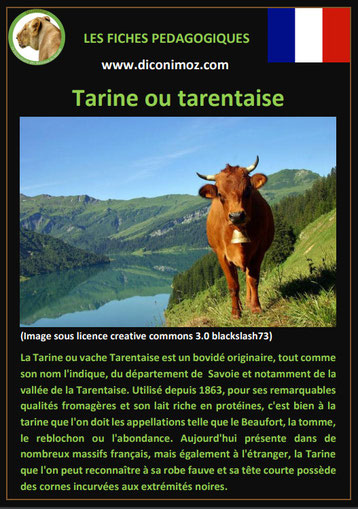 fiche animaux ferme vache tarine origine caractere comportement robe race