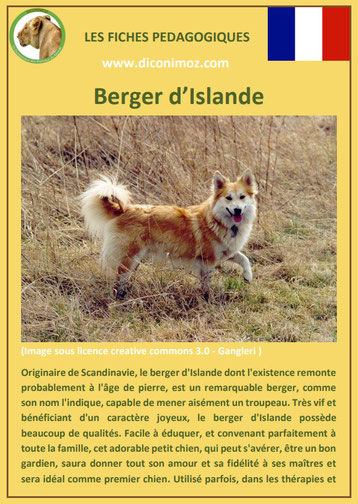 fiche chien pdf pedagogique berger d'islande origine caractere comportement
