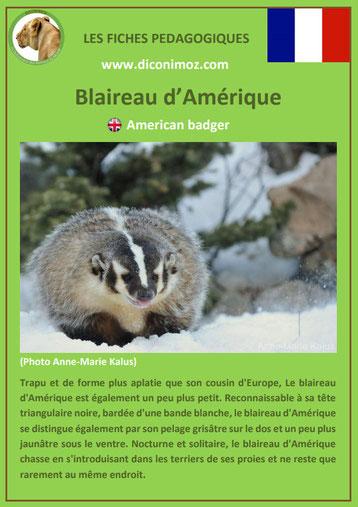 fiche animaux pdf blaireau amerique comportement taille poids habitat longevite alimentation