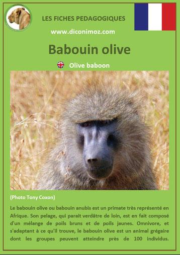 fiche animaux pdf singes babouin olive anubis