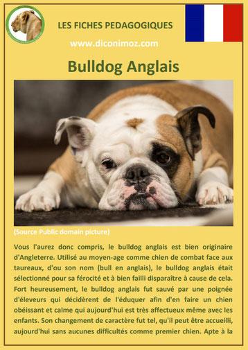 fiche chien pdf race bulldog anglais bouledogue comportement origine caractere soin poil