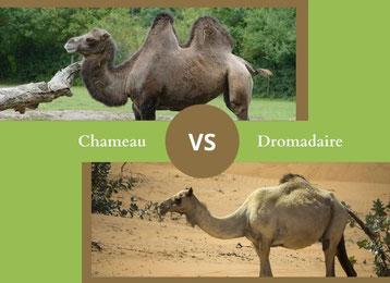 ne confondez plus le chameau et le dromadaire