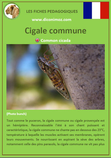 fiche animaux pdf insectes cigale commune à telecharger et a imprimer