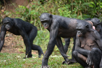 fiche animaux bonobo vs chimpanze difference