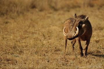 fiche animaux Phacochere vs babiroussa