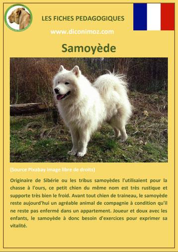 fiche chien race samoyede caractere origine comportement poil sante