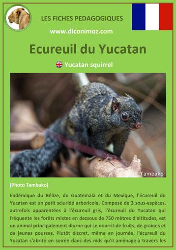 fiche animaux ecureuil du yucatan taille poids habitat longevite repartition comportement