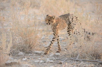 guepard afrique contre guepard asie difference