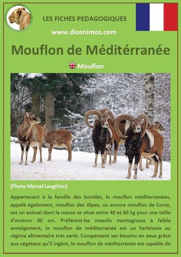 fiche animaux pédagogiques des montagnes francaises mouflon de mediterranee