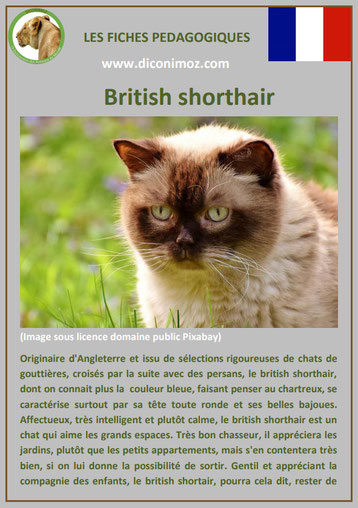 fiche chat pdf race british shorthair comportement caractere origines poil sante couleur
