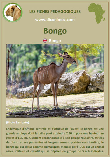 fiche animaux pdf afrique bongo habitat poids taille repartition alimentation reproduction comportement